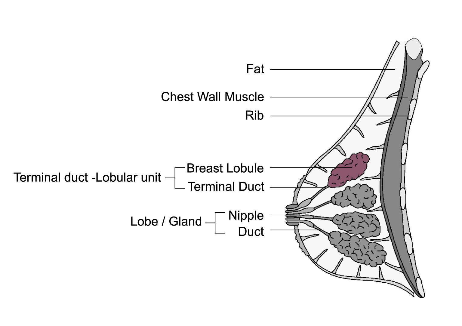 About Breast Cancer > What is Breast Cancer?